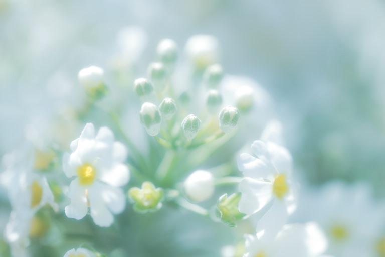 あわくはかない花の気持ち